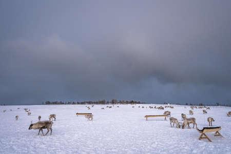 Herd of reindeers looking for food in snow, Tromso region, Northern Norway Archivio Fotografico - 122158015