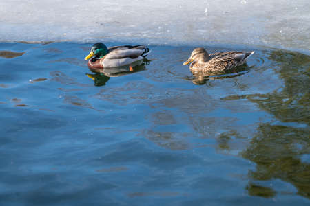 Male and female ducks swimming in cold waters of a pond in winter 版權商用圖片