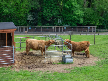 Two large Highland cows eating hay on a farm in Kent in summer