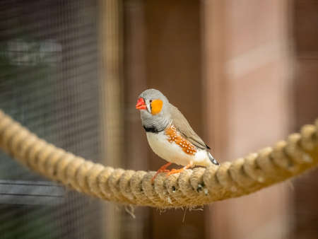 Tropical Zebra Finch bird sitting on a rope in cage in  zoo Stock fotó - 122158025
