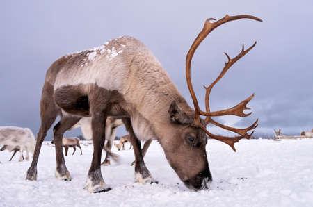 Porträt eines Rentiers mit massivem Geweih, das auf der Suche nach Nahrung im Schnee gräbt, Region Tromso, Nordnorwegen