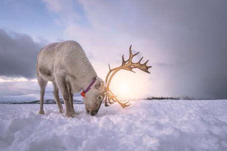 Portrait of a reindeer with massive antlers digging in snow in search of food, Tromso region, Northern Norway Reklamní fotografie