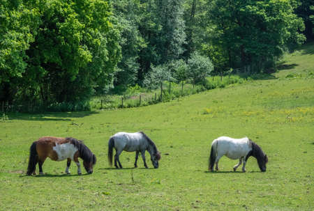 Three horses grazing on a green meadow on a farmland in Kent, England