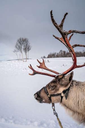 Porträt eines Rentieres mit massivem Geweih, das Schlitten im Schnee zieht, Region Tromso, Nordnorwegen