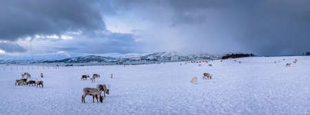 Panorama of mountain winter landscape with Reindeers wandering in snow, Tromso region, Northern Norway 免版税图像