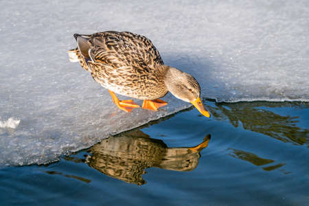 Mallard duck standing on ice and drinking cold water from a small pond in winter Stock Photo