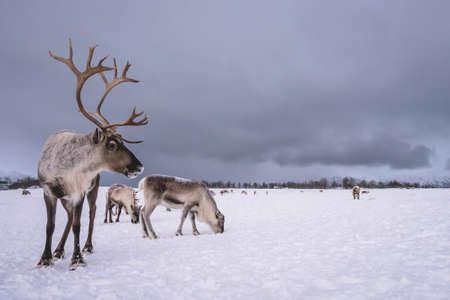 Ritratto di una renna con enormi corna tirando la slitta nella neve, regione di Tromso, Norvegia settentrionale