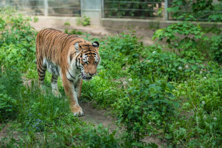 Powerful but sad mighty striped tiger walking in captivity in the zoo 版權商用圖片