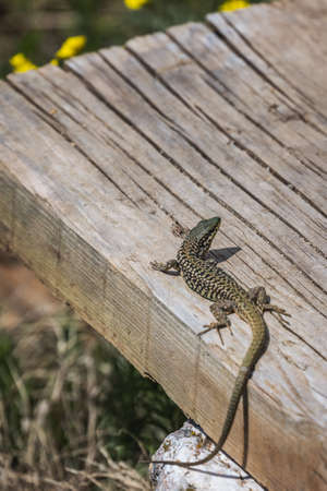 Small lizard on a wooden plank on a hot summer day, Northern Macedonia