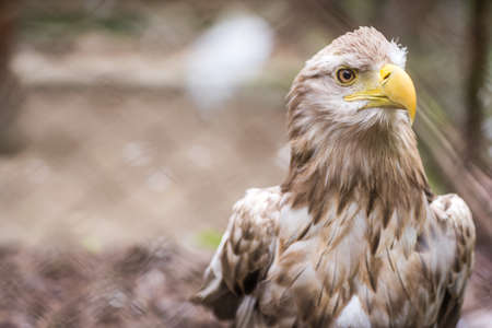 Mighty white tailed eagle called Haliaetus Albicilla in a cage in zoo, Poland