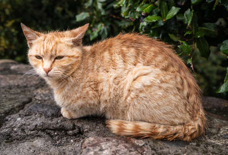 Portrait of a small wet cute brown and white cat sitting on a small stone wall under the bushes during rain