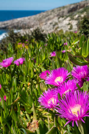 Small pink Carpobrotus chilensis flowres growing on the rocky shore in Porto Limnionas, Zakynthos Zante Island, Greece Stock Photo