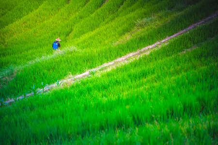 Unidentifiable person spraying bug killing chemicals on the growing rice on the Longsheng rice terraces, northeast of China`s Guangxi Zhuang Autonomous Region