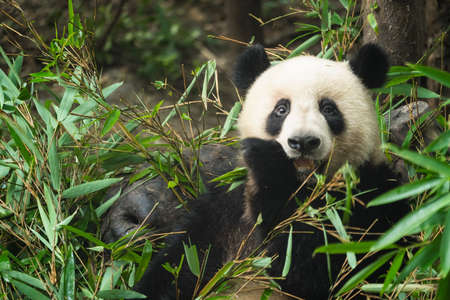 Close-up portrait of a Giant panda eating a bamboo leaves in national park