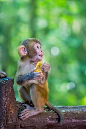 Cute tiny little monkey holding piece of fruit to eat,  Ten Mile Gallery Monkey Forest, Zhangjiajie National Park, China