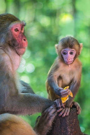 Protective female mother looking after cute tiny little monkey holding piece of fruit to eat, Ten Mile Gallery Monkey Forest, Zhangjiajie National Park, China Stock Photo