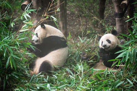 Two Giant panda eating bamboo leaves in national park in China Archivio Fotografico