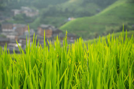 Rice growing slowly on the Longji rice terraces, northeast of China`s Guangxi Zhuang Autonomous Region