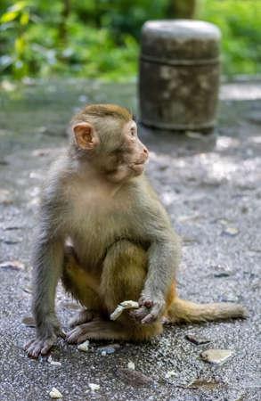 Monkey holding piece of fruit to eat,  Ten Mile Gallery Monkey Forest, Zhangjiajie National Park, China