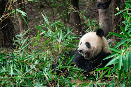Close-up portrait of a Giant panda eating a bamboo leaves in national park Foto de archivo