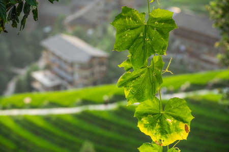 Backlit tree green leaves with the defocused background of the Longji rice terraces, northeast of China`s Guangxi Zhuang Autonomous Region