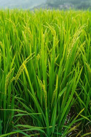 Rice growing slowly on the Longji Rice Terraces, northeast of China`s Guangxi Zhuang Autonomous Region