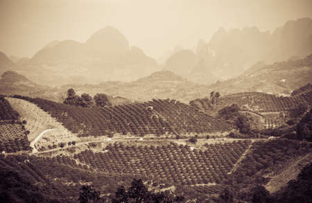 Greyscale sepia vintage look of rows of tea bushes on a tea plantation on a bright sunny day Stockfoto