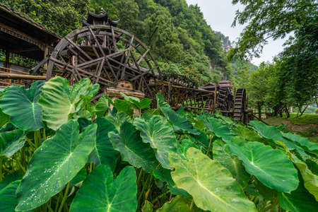 Giant green tropical leaves growing in front of working and turning old mill wooden water wheels in Huanglong Yellow Dragon Cave scenic area, Zhangjiajie, Hunan, China