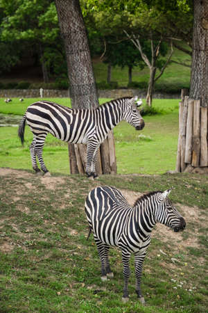 Two zebras standing on a hill in an enclosure at the zoo