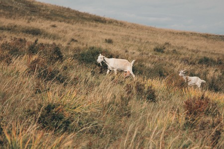 cattle grazing in the meadow. Pets goat