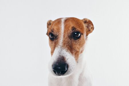 The dog looks around. Muzzle of animal close-up. Jack Russell Terrier on white background. thoroughbred dog