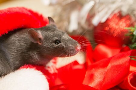 gray mouse walks among the New Year attributes. The animal is preparing for Christmas. The concept of the celebration, costumes, decorations. Symbol of the year 2020. Year of the rat. Red inscription 2020