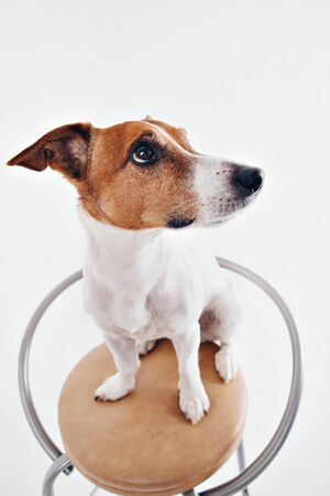 The dog sits on the chaire and looks around. Muzzle of animal close-up. Jack Russell Terrier on white background. thoroughbred dog Stock fotó