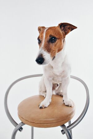 The dog sits on the chaire and looks around. Muzzle of animal close-up. Jack Russell Terrier on white background. thoroughbred dog Фото со стока
