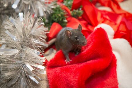 gray mouse walks among New Year attributes. The animal is preparing for Christmas. The concept of the celebration, costumes, decorations. Symbol of the year 2020. Year of the rat. Red inscription 2020 Stok Fotoğraf - 134409955