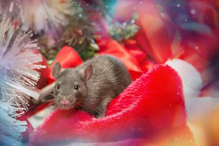 gray mouse walks among red New Year attributes. The animal is preparing for Christmas. The concept of the celebration, costumes, decorations. Symbol of the year 2020 - rat. Boce as background