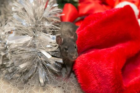 gray mouse walks among New Year attributes. The animal is preparing for Christmas. The concept of the celebration, costumes, decorations. Symbol of the year 2020. Year of the rat. Red inscription 2020