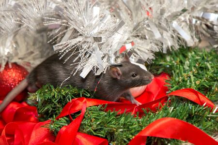 gray mouse walks among New Year attributes. The animal is preparing for Christmas. The concept of the celebration, costumes, decorations. Symbol of the year 2020. Year of the rat. Red inscription 2020 Stok Fotoğraf - 135868593