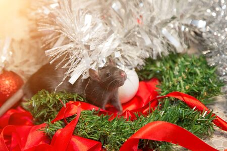 gray mouse walks among New Year attributes. The animal is preparing for Christmas. The concept of the celebration, costumes, decorations. Symbol of the year 2020. Year of the rat. Red inscription 2020 Stok Fotoğraf - 135868706