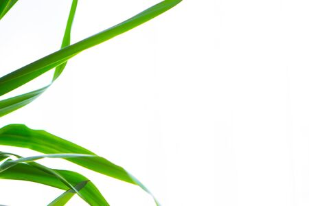 Green leaves on a white background. Isolated space. Copy space.