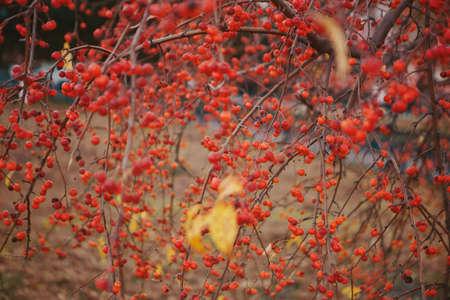 Rowan berries on a wooden surface close-up. Autumn fruits, harvest