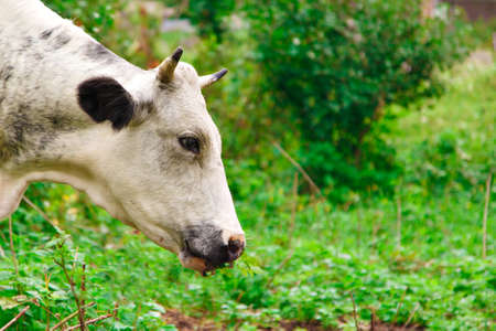 cow grazing on a green meadow. large horned livestock eats the grass. animals close up. Concept of meat products, agriculture, life in nature, organization for the protection of animals