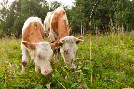 cow grazing on a green meadow. large horned livestock eats the grass. animals close up. Concept of meat products, agriculture, life in nature, organization for the protection of animals Stok Fotoğraf