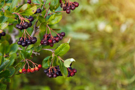 crop: black-fruited Rowan berries on a tree in the garden. the products are ready for export. import of seasonal goods.