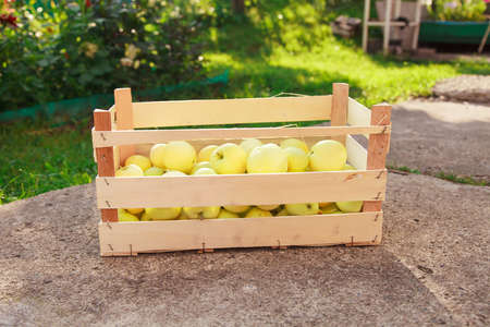 harvest: white apples in a wooden box. products ready for export. import of seasonal goods.