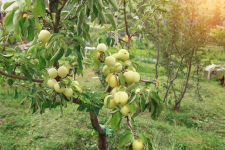 harvest: green apples on a tree in the garden. the products are ready for export. import of seasonal goods. Stok Fotoğraf