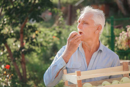 harvest: white apples in a wooden box. products ready for export. import of seasonal goods. An elderly man holds a box. The gardener enjoys the fruits of his work Stok Fotoğraf
