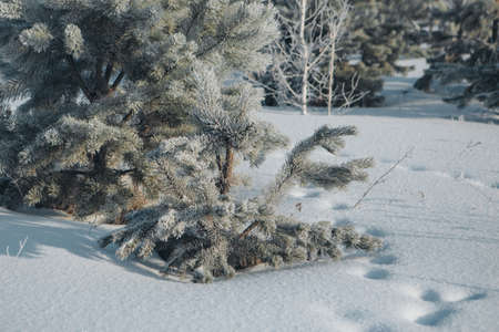 frozen pine branch close-up. frost on plants. winter landscape: snow in nature. Needles in frost. Christmas tree
