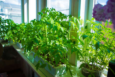 tomato seedlings on the windowsill. potted plant. Spring planting