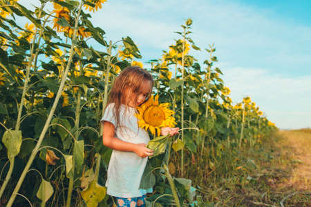 a little girl holds a large blooming sunflower. Yellow sunflower petals. A natural background associated with summer. preparing for the harvest